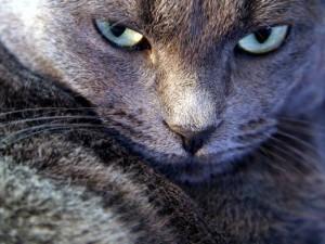 La mirada de un gato gris