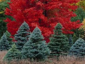 Pinos delante de un árbol con hojas rojas