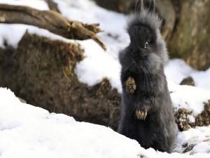 Un conejo negro en la nieve