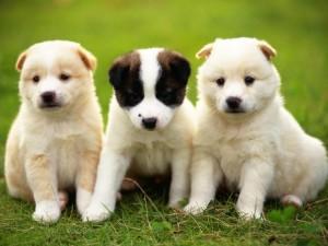 Tres pequeños cachorros sentados juntos en el césped