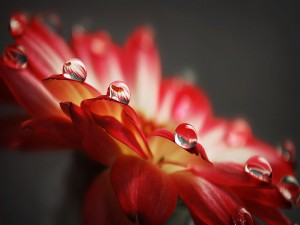 Postal: Perfectas gotas de agua sobre los pétalos de una flor