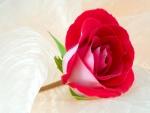 Una rosa con bellos pétalos