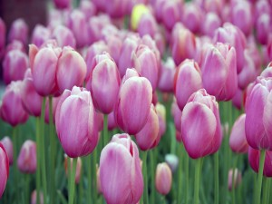 Unos bellos tulipanes rosas en el jardín