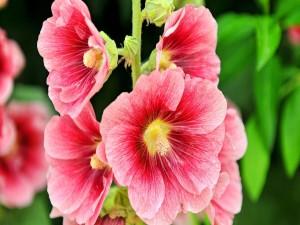 Postal: Espléndidas flores de pétalos rosa en la planta