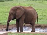Elefante tomando agua