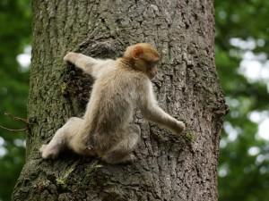 Postal: Un curioso mono trepando a un árbol