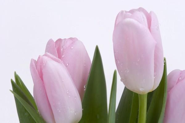 Unos bellos tulipanes rosas recién regados