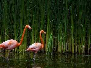 Dos bonitos flamencos en el agua
