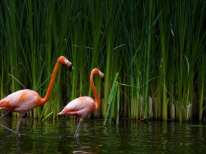 Postal: Dos bonitos flamencos en el agua