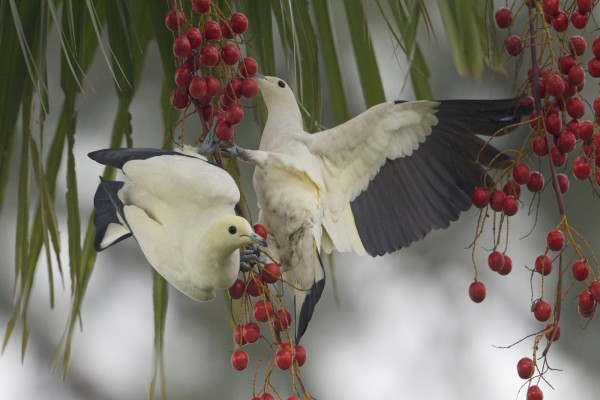 Esplendidos pájaros picoteando bayas
