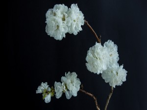 Ramas con bellas flores blancas