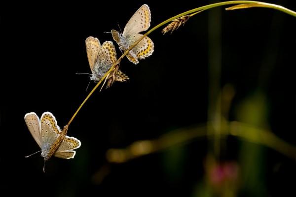 Trío de mariposas sobre una espiga