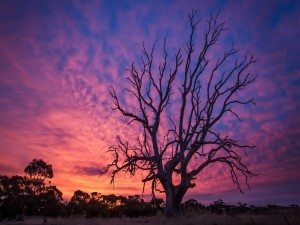 Fascinante puesta de sol sobre un gran árbol sin hojas