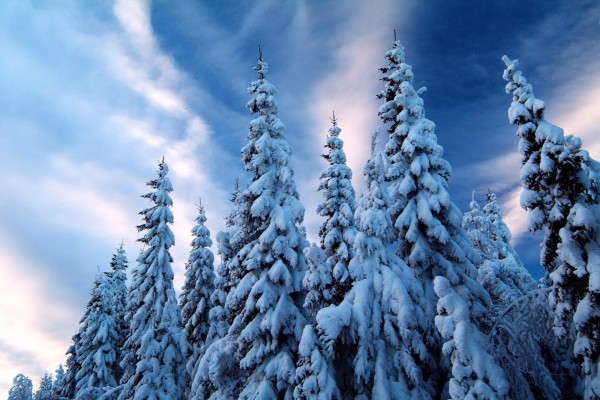 Bello cielo sobre unos pinos nevados