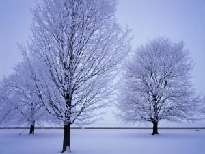 Tres árboles cubiertos de nieve