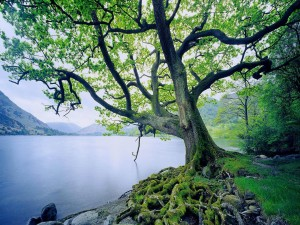 Postal: Árbol con grandes raíces en la orilla del lago