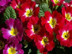 Postal: Flores rojas y fucsias con el centro amarillo