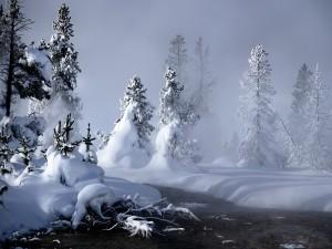 Niebla entre los pinos blancos