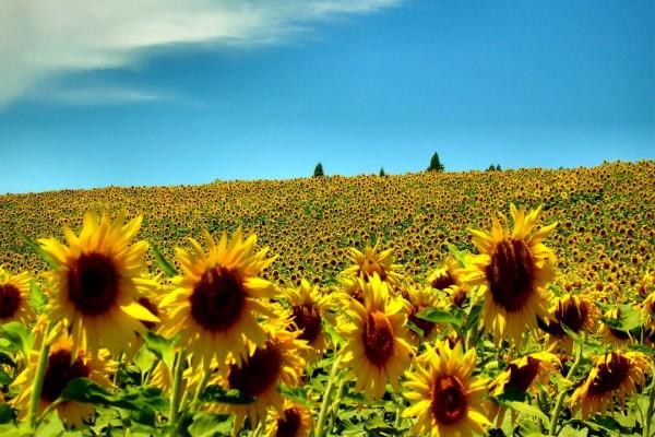 Un radiante campo de girasoles