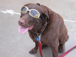 Un perro con gafas tras el baño