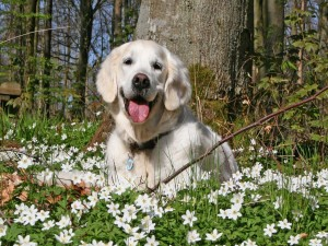 Un labrador entre las flores blancas