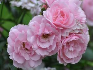 Postal: Espléndidas rosas de color rosa