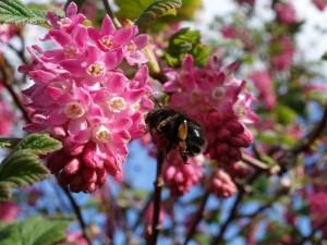 Postal: Un abejorro en las flores de color rosa