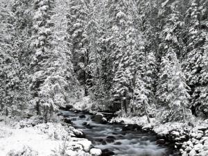 Postal: Pinos cubiertos de nieve junto al río