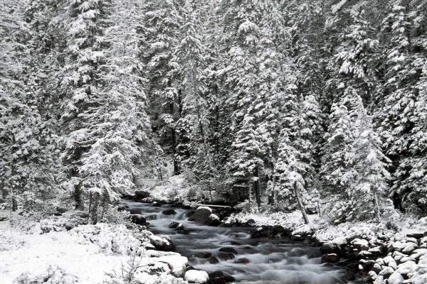 Pinos cubiertos de nieve junto al río