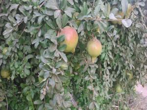 Granado con sus frutos