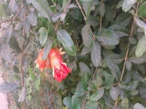 Postal: Flor del granado