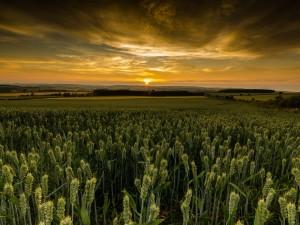 El sol se oculta iluminando un campo con espigas de trigo