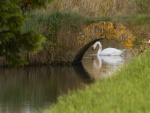 Un distinguido cisne tomando agua bajo el puente
