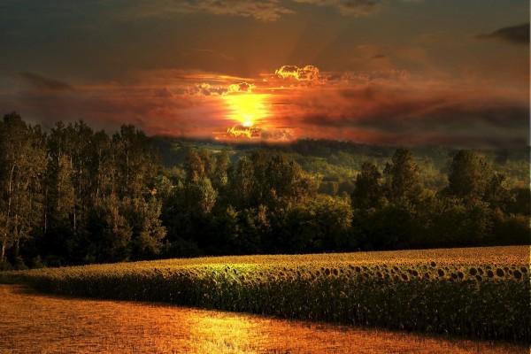 Espectacular campo de girasoles junto a un bello bosque
