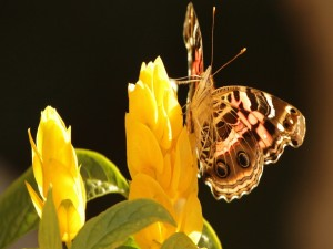 Postal: Mariposa posada en una curiosa flor amarilla