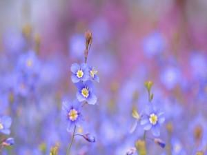 Unas fabulosas flores (heliophila longifolia) color azul