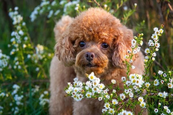 Un lindo perrito marrón entre las flores