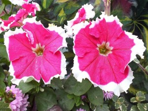 Petunias color fucsia con borde blanco