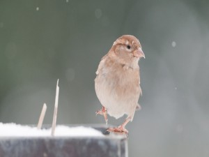 Postal: Un gorrión en la nieve