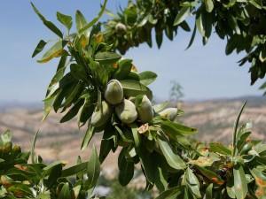 Postal: Fabulosas almendras en el árbol (Prunus dulcis),  Andalucía (España)