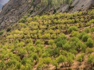 Plantación de almendra en la ladera de la montaña (Sierra Nevada, Andalucía, España)