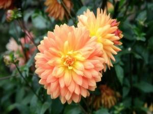 Dalias de un color naranja claro