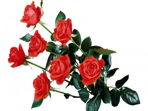 Rosas rojas con largo tallo