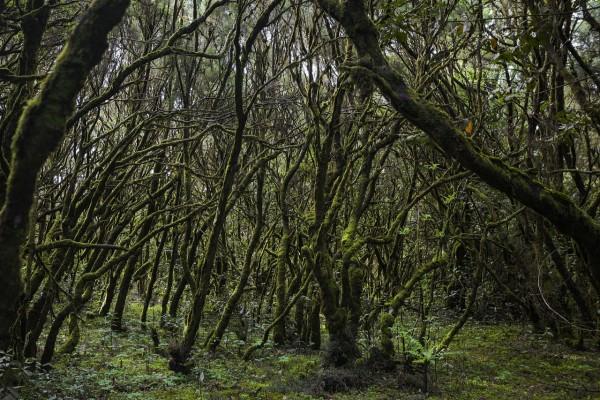 Bosque en el  Parque Nacional de Garajonay (La Gomera, España)
