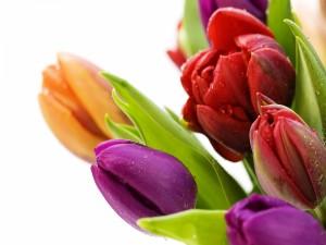 Hermosos tulipanes de varios colores