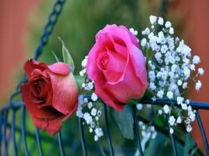 Postal: Dos maravillosos pimpollos de rosa