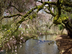 Postal: Río junto a unos árboles en floración