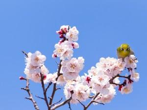 Pajarito posado sobre unas hermosas flores de cerezo