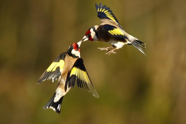Dos jilgueros en vuelo unidos por el pico