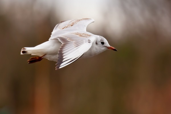 Maravillosa gaviota volando